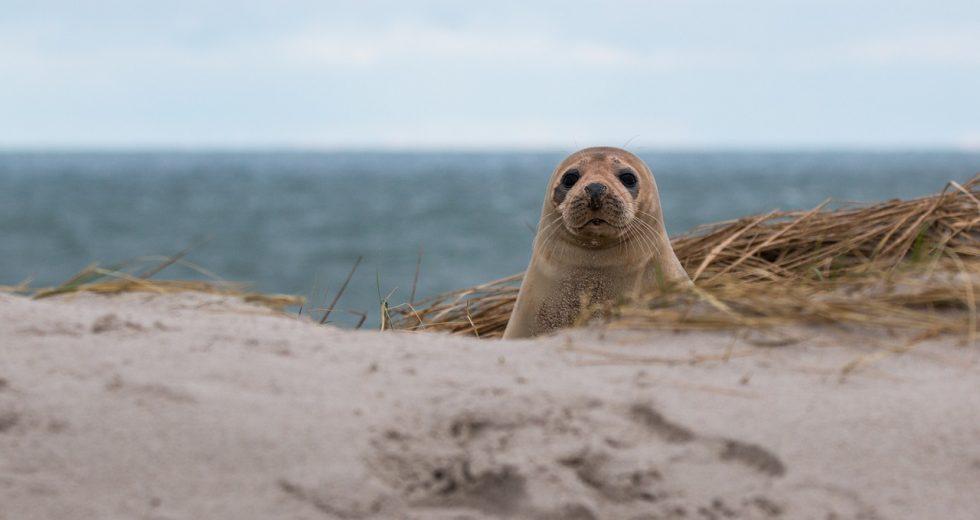 Foki na nadbałtyckich plażach