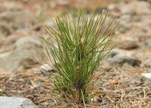Nadleśnictwa rozdały darmowe sadzonki drzew